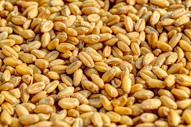 Coceral: Mniej pszenicy wyprodukowano w UE
