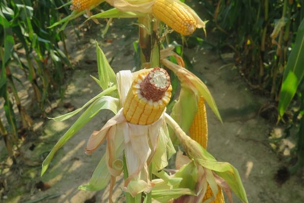 Kiedy zacząć zbierać kukurydzę na ziarno?