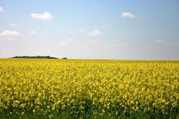 Możliwości eksportowe pszenicy z Ukrainy, mniej rzepaku w Kazachstanie