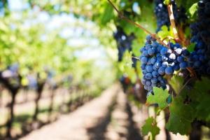 Bułgarskie winnice wyprodukują więcej wina z tegorocznych zbiorów