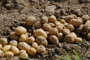 Dzień Kartofla w chorzowskim skansenie