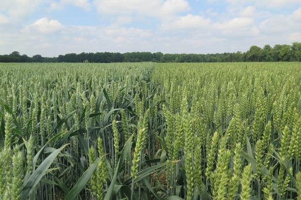 Najczęściej wybierane odmiany zbóż ozimych