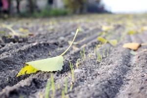 Plon pszenicy ozimej z siewów opóźnionych