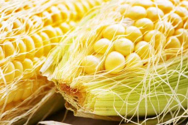 Producenci: Tegoroczne zbiory kukurydzy w Polsce na poziomie 3,5 mln ton