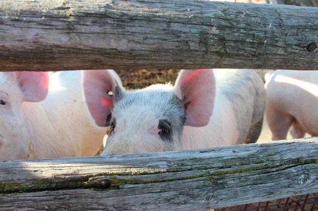 Wyraźny spadek cen skupu świń
