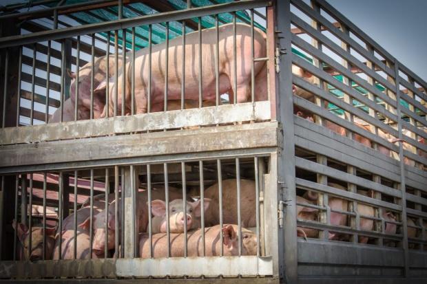Jurgiel: Nie będzie problemów z interwencyjnym skupem świń w związku z ASF