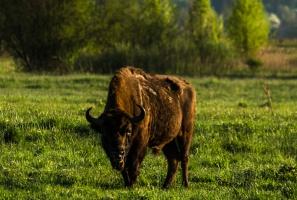 Bieszczady: Żubry schodzą w doliny do miejsc zimowania