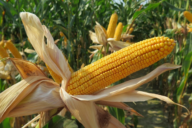 Lekki wzrost cen zbóż