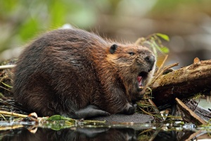 Plany odstrzału 3 tys. bobrów na Podlasiu - ekolodzy protestują