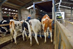 Bezpieczny załadunek bydła