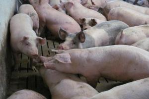 Ceny świń wciąż w dół