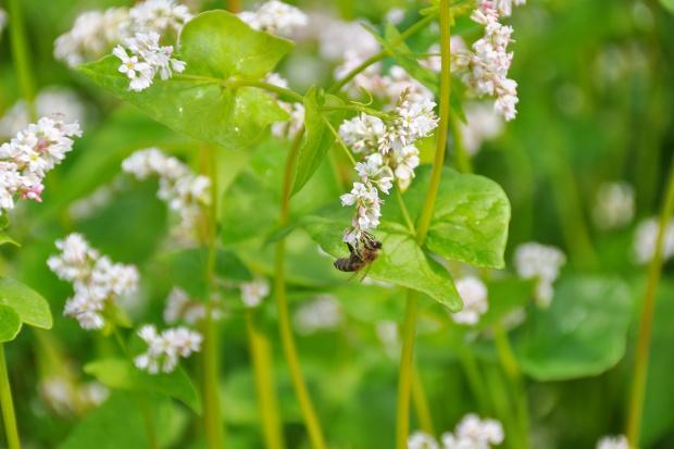 Zmiany w rejestracji środków ochrony roślin szansą czy zagrożeniem dla pszczół?