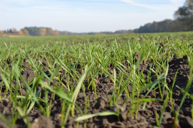 Zwalczanie chwastów w pszenicy od fazy 1. liścia zbóż