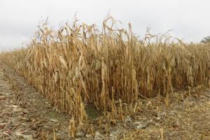 Nie bójmy się młócić kukurydzy na ziarno w deszcz