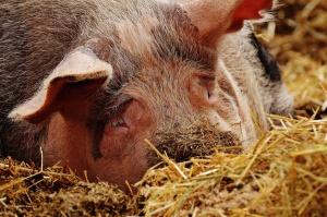 Kolejny tydzień spadków cen świń