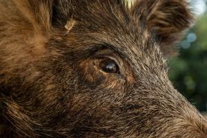 W Wielkopolsce będą liczone dziki