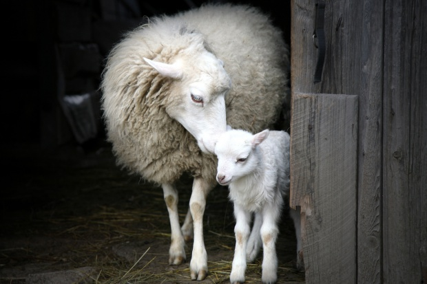 Hodowca ze Szczyrku stanął przed sądem za zagłodzenie niemal 60 owiec