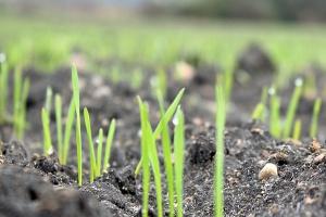 Szpilkuje pszenica siana na początku października