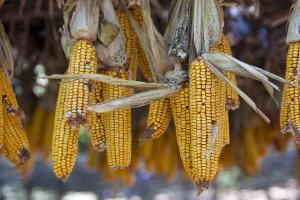 Kiedy ograniczyć udział kukurydzy w paszy?