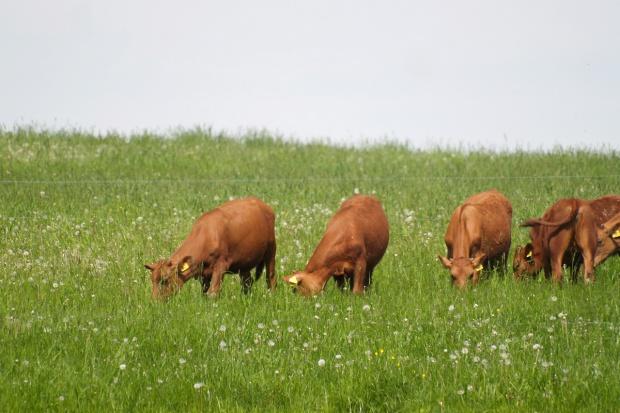 """""""Super trawa"""" zmniejszy emisję metanu?"""