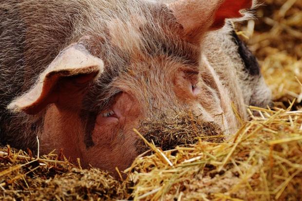 Ceny świń wciąż spadają