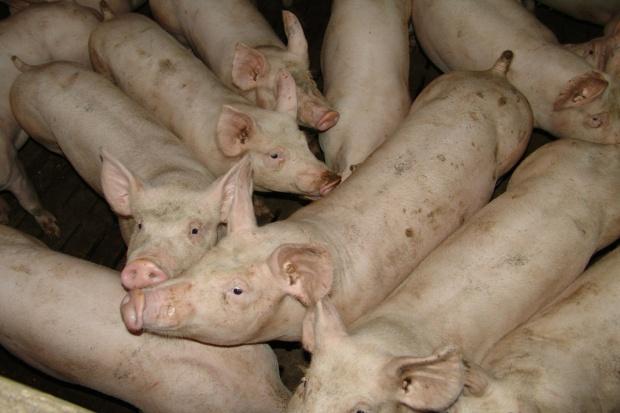 UE: Mniej wieprzowiny do połowy 2017 r.