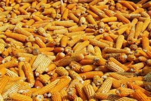 IGC: Wzrost prognoz produkcji zbóż