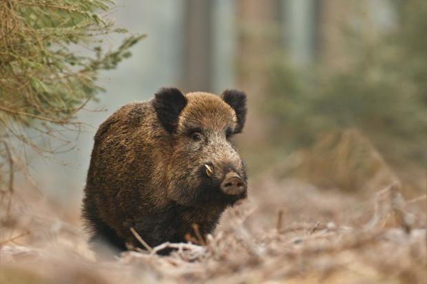 Walka z ASF na Podlasiu - służby i wojsko będą szukać w lasach padłych dzików