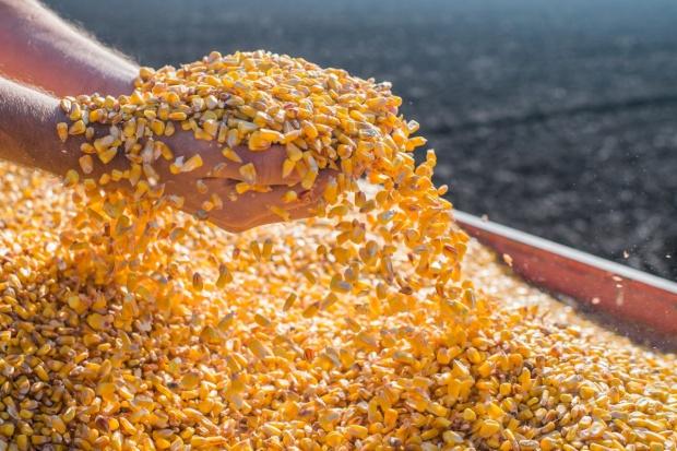 Zniżka notowań zbóż