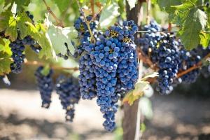 Urodzajne winobranie na Podkarpaciu