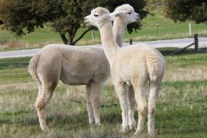 Gruźlica bydła - śmiertelna dla alpak i niebezpieczna dla ludzi