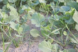 Zwalczanie samosiewów zbóż w rzepaku ozimym