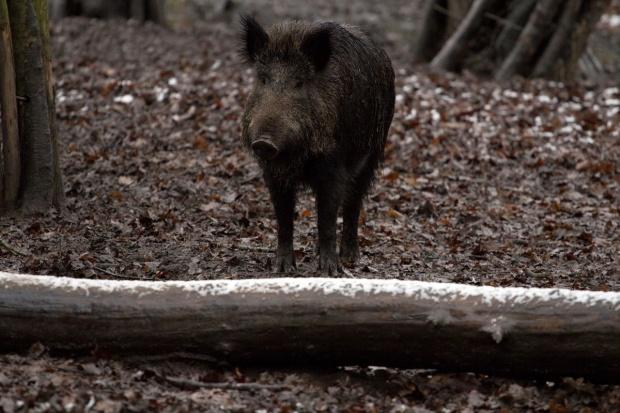 Dwa kolejne przypadki ASF u dzików; w Podlaskiem trwają poszukiwania w lasach