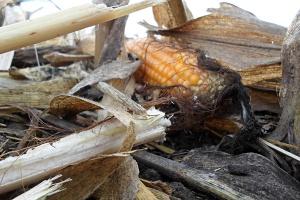 Opóźnione zbiory kukurydzy ziarnowej