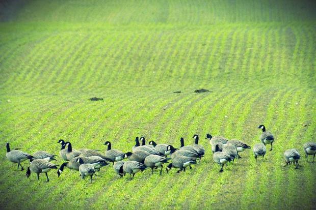 Kanada. Pole i gęsi. Flickr. Oregon Department of Fish and Wildlife 1200x800.jpg