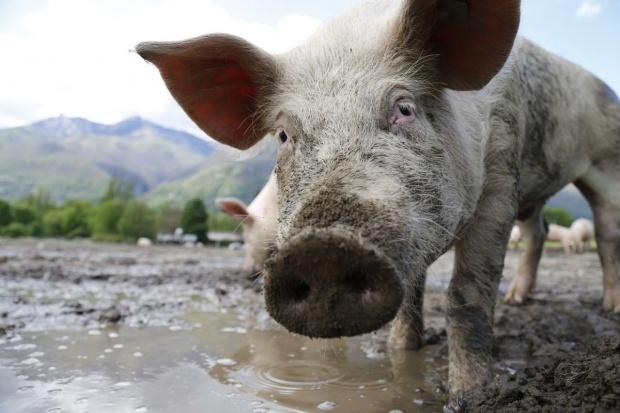 Ceny świń na stabilnym poziomie