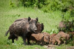 W północno-wschodniej Polsce populacja dzików spadła o blisko połowę