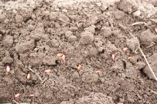 Zagrożenia dla listopadowych siewów pszenicy ozimej