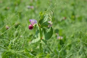 Rośliny strączkowe w uprawie uproszczonej