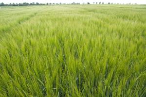O 15 proc. większe plony dzięki usprawnionej fotosyntezie w cieniu