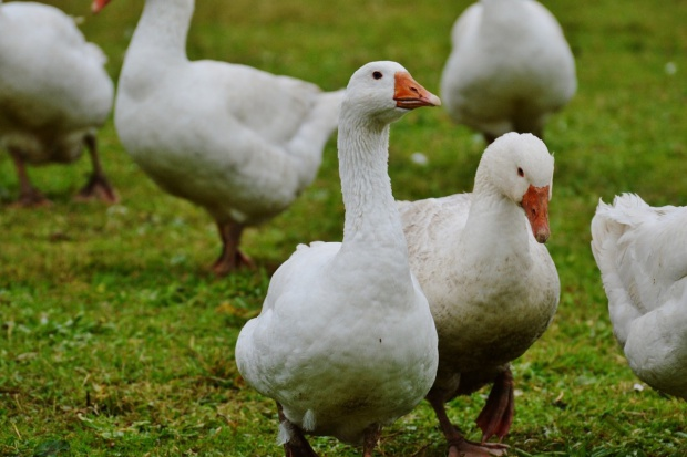 Dania: Groźny wirus ptasiej grypy pierwszy raz wśród gęsi hodowlanych
