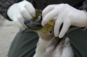 Świnoujście, Lubczyna i Modrzewie obszarami zagrożonymi grypą ptaków H5N8