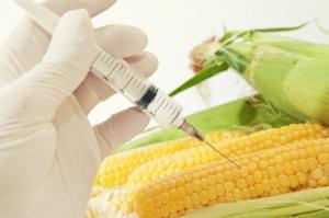 Rząd za obowiązkowym zgłaszaniem upraw GMO