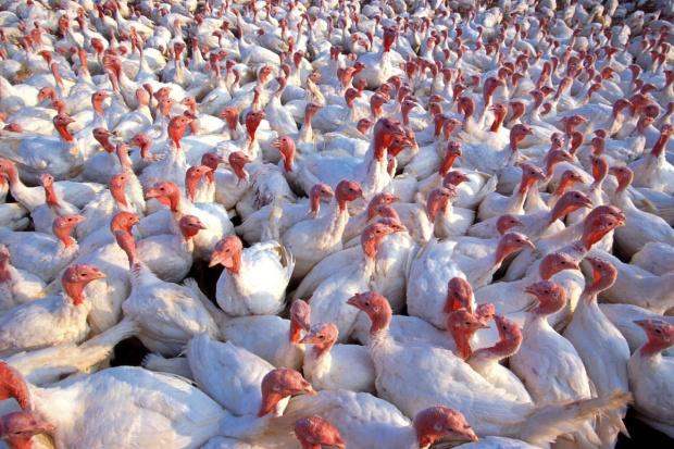 Coraz więcej ognisk ptasiej grypy w Europie