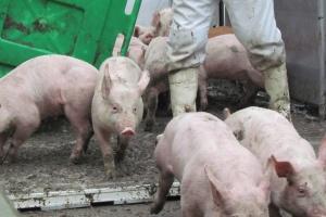 Ceny świń stopniowo idą w górę