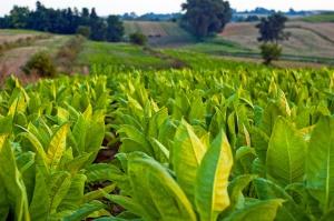 Policja: Nielegalna produkcja tytoniu wciąż dochodowa dla przestępców