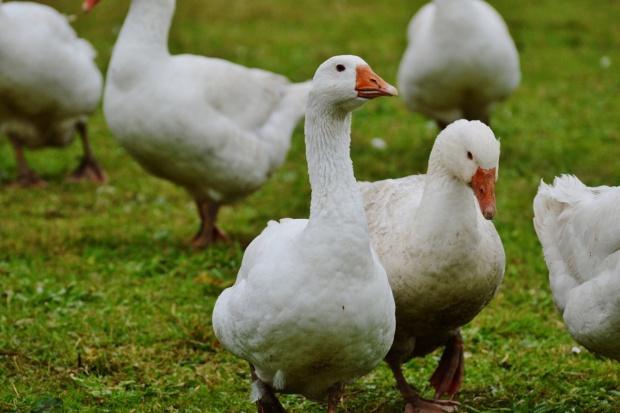 Główny Lekarz Weterynarii: Zlikwidowane ognisko ptasiej grypy