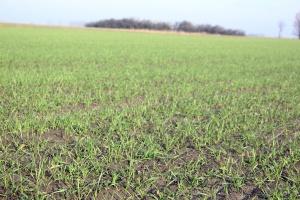 Pszenica ozima – najważniejsza będzie startowa dawka azotu