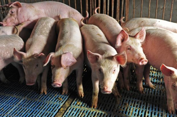 Na Litwie spada pogłowie świń