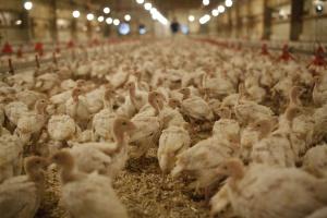 Duże fermy są dobrze zabezpieczone przed grypą ptaków